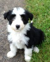 Bearded Collie Puppies for sale in Arden, DE 19810, USA. price: NA