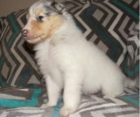 Bearded Collie Puppies for sale in Bakersfield, CA, USA. price: NA