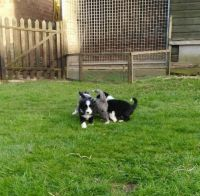 Bearded Collie Puppies for sale in Columbus, OH, USA. price: NA