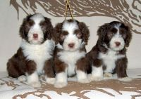 Bearded Collie Puppies for sale in Omaha, NE, USA. price: NA