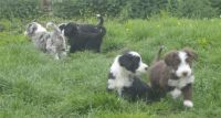 Bearded Collie Puppies for sale in Los Angeles, CA, USA. price: NA