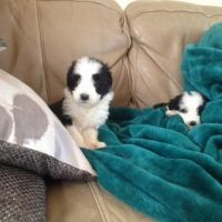 Bearded Collie Puppies for sale in Georgetown, GA, USA. price: NA