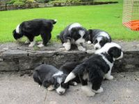 Bearded Collie Puppies for sale in Austin, TX, USA. price: NA