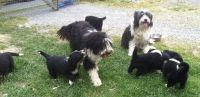 Bearded Collie Puppies for sale in Atqasuk, AK 99791, USA. price: NA