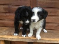 Bearded Collie Puppies for sale in East Los Angeles, CA, USA. price: NA