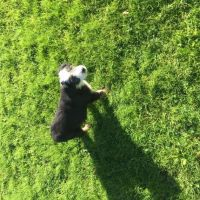 Bearded Collie Puppies for sale in Minnesota St, St Paul, MN 55101, USA. price: NA