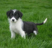 Bearded Collie Puppies for sale in NJ-38, Cherry Hill, NJ 08002, USA. price: NA