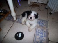 Bearded Collie Puppies for sale in Waco, TX, USA. price: NA