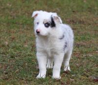 Bearded Collie Puppies for sale in Aliso Viejo, CA, USA. price: NA