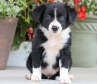 Bearded Collie Puppies for sale in San Francisco, CA, USA. price: NA