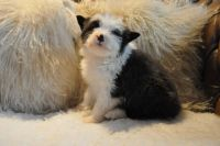 Bearded Collie Puppies for sale in Colorado Blvd, Denver, CO, USA. price: NA