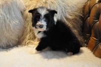 Bearded Collie Puppies for sale in Castle Pines, CO 80108, USA. price: NA