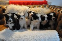 Bearded Collie Puppies for sale in Los Angeles County, CA, USA. price: NA