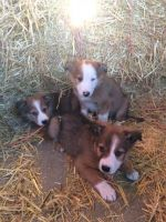 Bearded Collie Puppies for sale in Dallas, TX, USA. price: NA