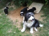 Bearded Collie Puppies for sale in SC-14, Fountain Inn, SC 29644, USA. price: NA
