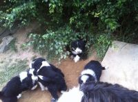 Bearded Collie Puppies for sale in Seattle, WA, USA. price: NA