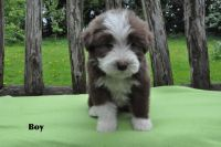 Bearded Collie Puppies for sale in Massachusetts Ave, Cambridge, MA, USA. price: NA