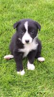 Bearded Collie Puppies for sale in Bloomfield Ave, Bloomfield, CT 06002, USA. price: NA