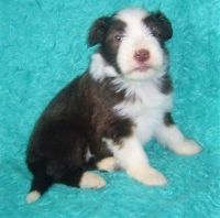 Bearded Collie Puppies for sale in Houston, TX, USA. price: NA