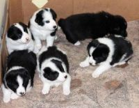 Bearded Collie Puppies for sale in California St, San Francisco, CA, USA. price: NA