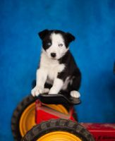 Bearded Collie Puppies for sale in CA-1, Mill Valley, CA 94941, USA. price: NA