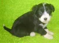 Bearded Collie Puppies for sale in Omar Ave, Carteret, NJ 07008, USA. price: NA