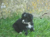 Bearded Collie Puppies for sale in Atlanta, GA, USA. price: NA