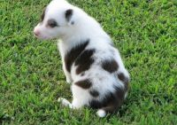 Bearded Collie Puppies for sale in CA-111, Rancho Mirage, CA 92270, USA. price: NA