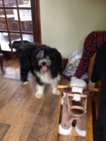 Bearded Collie Puppies for sale in New York, NY, USA. price: NA