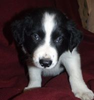 Bearded Collie Puppies for sale in San Francisco, CA 94133, USA. price: NA