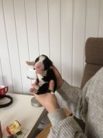 Bearded Collie Puppies for sale in I-35, Austin, TX, USA. price: NA