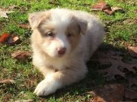 Bearded Collie Puppies for sale in Alexandria, OH 43001, USA. price: NA