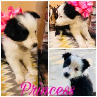 Bearded Collie Puppies for sale in King City, CA, USA. price: NA