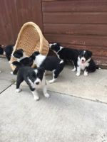 Bearded Collie Puppies for sale in Chicago, IL, USA. price: NA