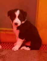 Bearded Collie Puppies for sale in N St NW, Washington, DC, USA. price: NA