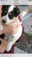 Bearded Collie Puppies for sale in Peoria, AZ, USA. price: NA