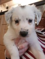Bearded Collie Puppies for sale in Bell Gardens, CA 90202, USA. price: NA