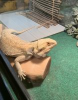 Bearded Dragon Reptiles for sale in Opelousas, LA 70570, USA. price: NA