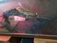 Bearded Dragon Reptiles for sale in Vallejo, CA, USA. price: NA