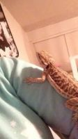 Bearded Dragon Reptiles for sale in Toledo, OH, USA. price: NA