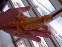Bearded Dragon Reptiles for sale in Muskegon, MI, USA. price: NA