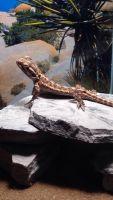 Bearded Dragon Reptiles for sale in Ann Arbor, MI, USA. price: NA