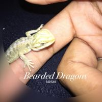 Bearded Dragon Reptiles for sale in Long Beach, CA, USA. price: NA