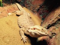 Bearded Dragon Reptiles for sale in Norridge, IL, USA. price: NA