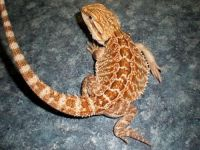 Bearded Dragon Reptiles for sale in Columbus, OH, USA. price: NA