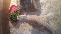 Bearded Dragon Reptiles for sale in Boston, MA, USA. price: NA