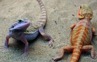 Bearded Dragon Reptiles for sale in Columbus, GA, USA. price: NA