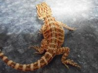 Bearded Dragon Reptiles for sale in Chicago, IL, USA. price: NA