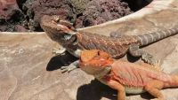 Bearded Dragon Reptiles for sale in New York, NY, USA. price: NA