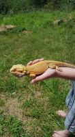 Bearded Dragon Reptiles for sale in Owingsville, KY 40360, USA. price: NA